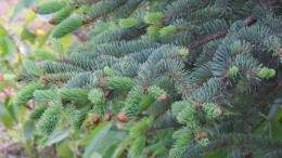 Image for Canadian food DYK: Spruce tips is one of the most popular ingredient to cook with in Yukon