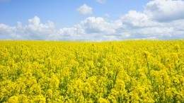 Image for Canadian food DYK: Prairie-grown mustard seeds are used around the globe