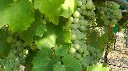 Viognier photo from Wikimedia Commons.