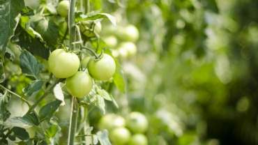 Image for Canadian food DYK: The world's first tomato wine, Omerto, is produced in Quebec