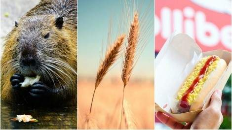 Image for ICYMI: Beavers changing the whiskey game, Japan bans on Canadian wheat, Filipino food fans rejoice and more