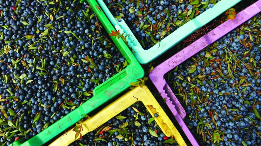 Image for Canadian food DYK: Canada is a leader in the wild blueberry industry