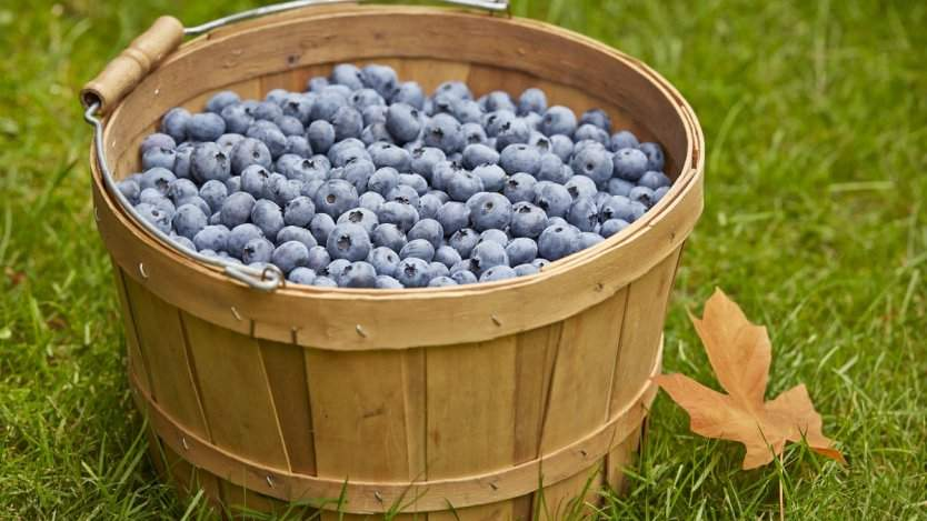 Image for From Blueberry farm to plate: how B.C. chefs wind up with fresh blueberries on their menus