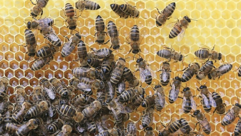 Image for Buzzing for honey across Canada
