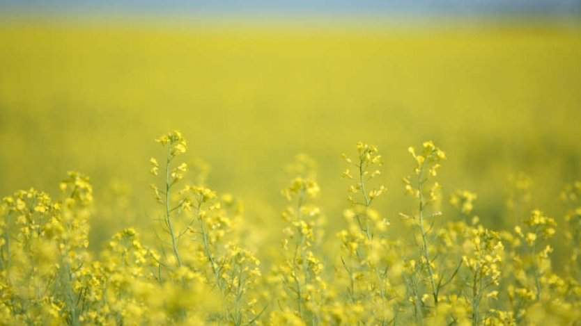 Image for Pioneering canola researcher Vivian Bruce receives Manitoba's highest honour