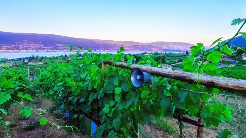 Lunessence vineyard uses music to enhance the growing environment for its grapes.